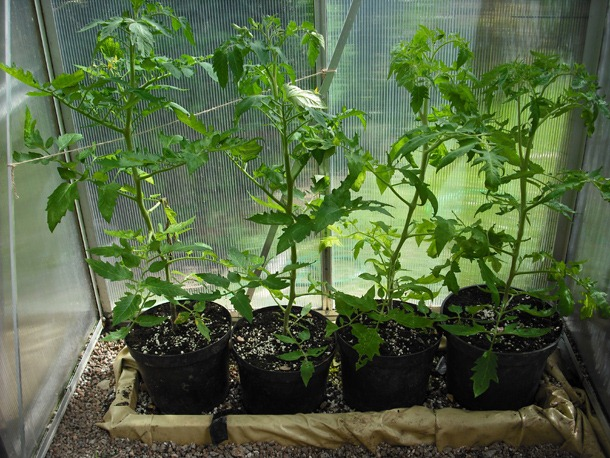 tomato_plants