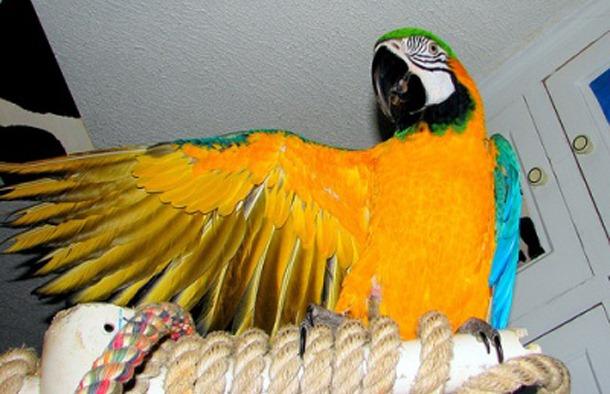 pet-parrot